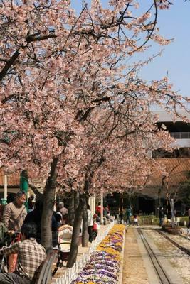 Sakura_Namiki.JPG